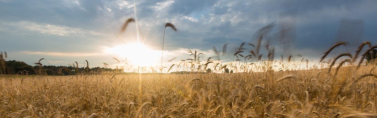 Corn field landscape, polish field at summer